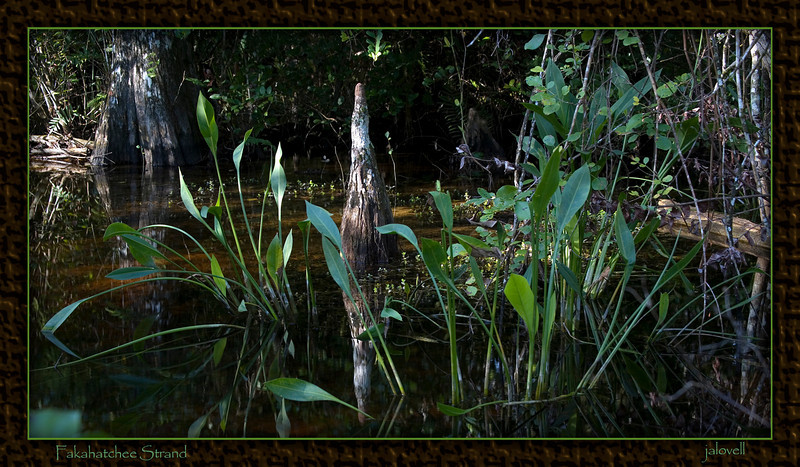 Fakahatchee Strand Cypress Knee - beauty in the tangle of water plants