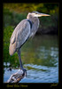 Beautiful Great Blue Heron awaits sundown in this late afternoon image taken in Merritt Island, Florida.