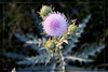 Purple Thistle: Everglades National Park
