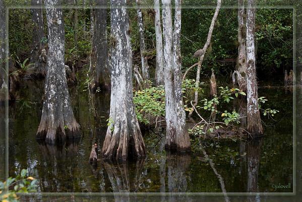 Big Cypress Preserve-Cypress Swamp with Night Heron