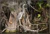 A Louisiana Heron perches amid cypress, fern, and Spanish moss along the Tamiami Trail