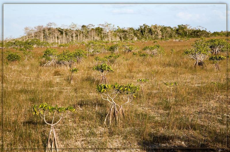 Red Mangroves with Prop Roots dot the marshy landscape with a cypress dome in distant view.