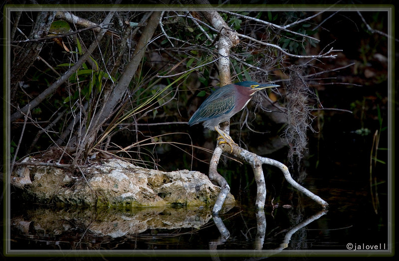 Green Heron - Big Cypress Preserve - Florida Everglades - A very late day but colorful visitor!!