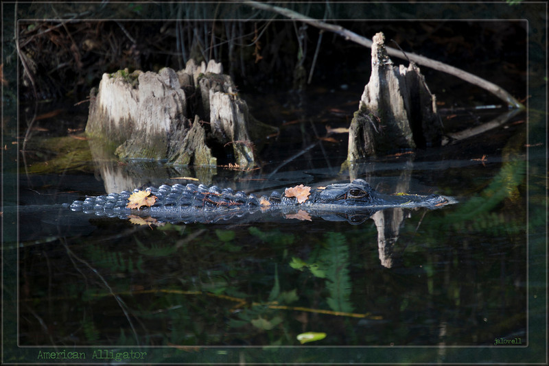 An American Alligator glides through a dusty film which fails to obscure vibrant reflections in the still water. Wildlife tends to blend with its environment and the adornments of leaves and cypress needles enhance that camouflage through nature's artistry.