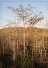 Dwarf Cypress Forest...Everglades National Park