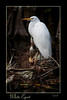 White Egret perched on fallen limb laden with Tillandsia plants in Florida's evocative Big Cypress Preserve