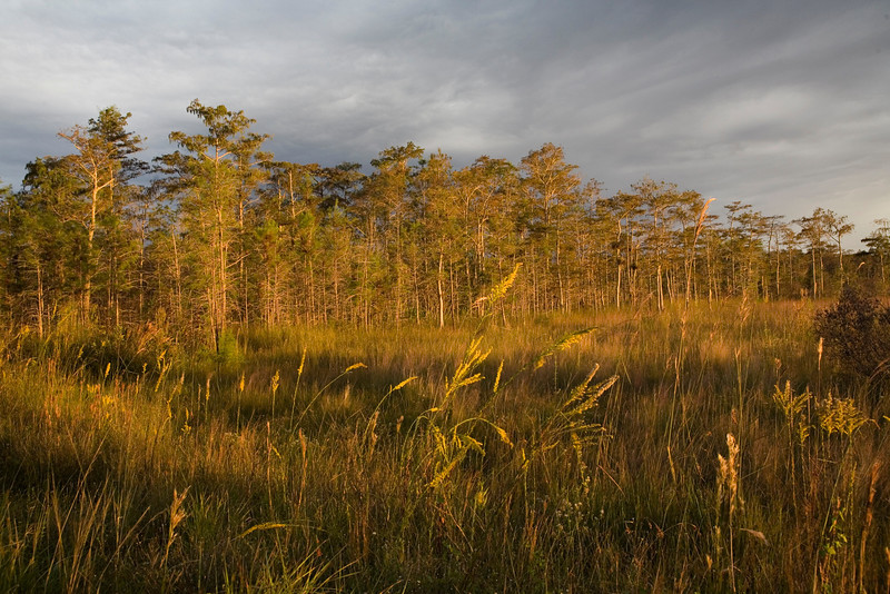 Big Cypress Preserve-Tamiami Trail-A gray day takes on gold with the setting sun.