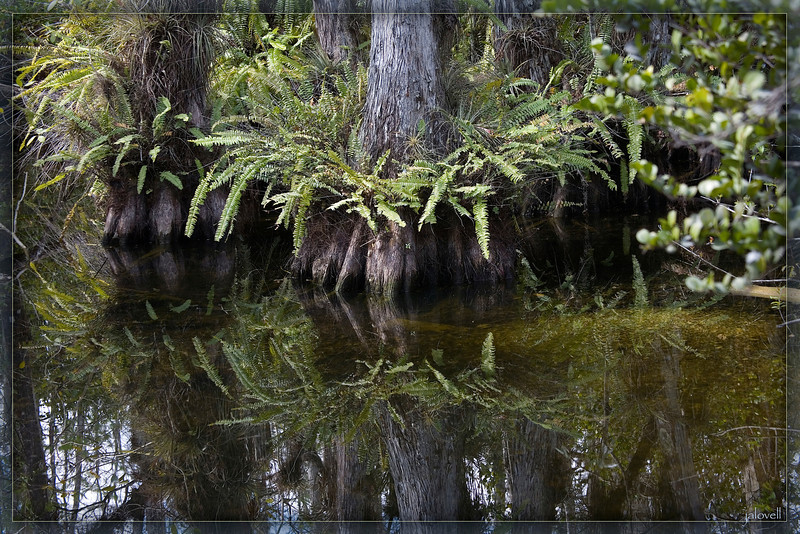 The colors and textures of a fern wreathed cypress provide pleasant organization against the tangle of the swamp.