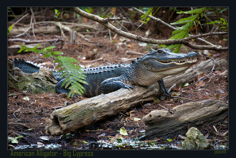 American Alligator roams his Big Cypress habitat with his eye out for pesky photographers.