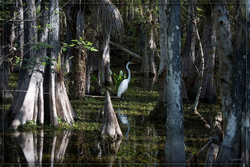 Florida, Big Cypress Preserve: White Egret strolls in the swamp beneath stately Cypress trees