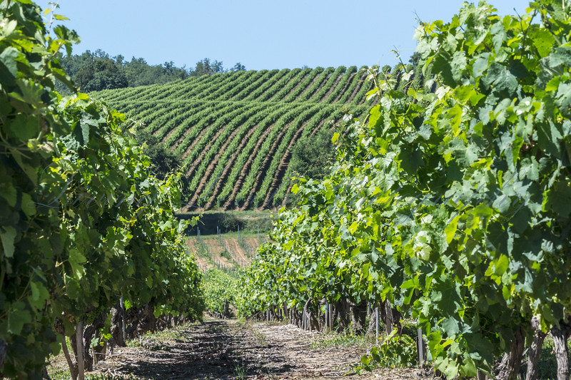 The sun shines down on the vineyards at Domaine Sarrabelle near Gaillac in the Midi-Pyrénées  in France as the grapes grow.
