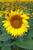 A sunflower stands in a sunflower field after early morning rain in Vierzon