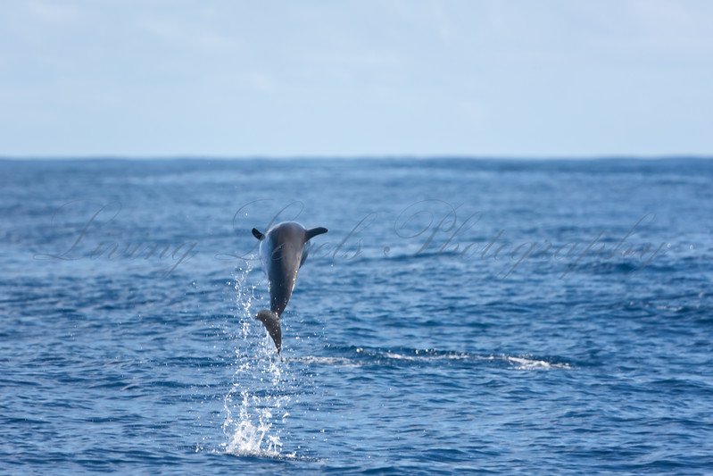 Common Dolphin (Delphinus dephis) leaping spectacularly from the Atlantic Ocean South of Sao Miguel island in the Azores