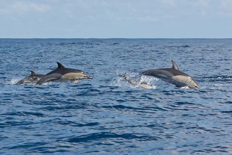 Family group of Common Dolphins (Delphinus dephis) porpoising in the Atlantic Ocean south of Sao Miguel Island in the Azores