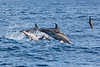 Common dolphins breaching off Sao Miguel island in the Azores