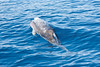 Atlantic Spotted Dolphin (Stenella frontalis) porpoising in the Atlantic Ocean south of Sao Miguel Island in th
