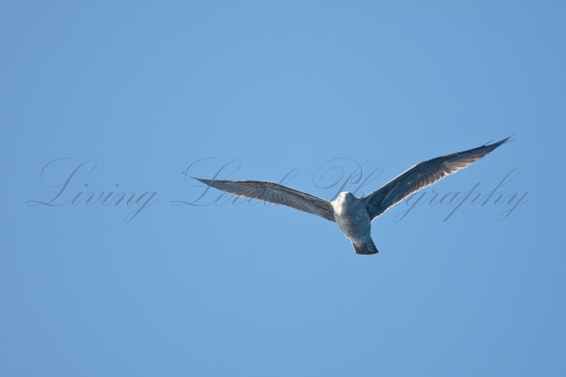 Corys Shearwater of the south coast of Sao Miguel Island in the Azores