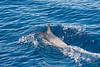 Atlantic Spotted Dolphin (Stenella frontalis) porpoising in the Atlantic Ocean south of Sao Miguel Island in the Azores