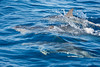 Family group of Atlantic Spotted Dolphins (Stenella frontalis) porpoising in the Atlantic Ocean south of Sao Miguel Island in th