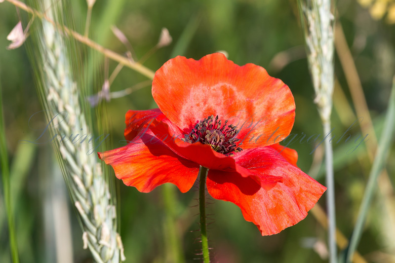 Wild common poppy  (Papaver rhoeas)  in a barley field in the French Alps