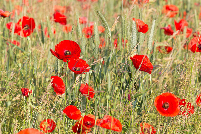 Barley field full of wild poppies at the Col des Fillys in the French Alps