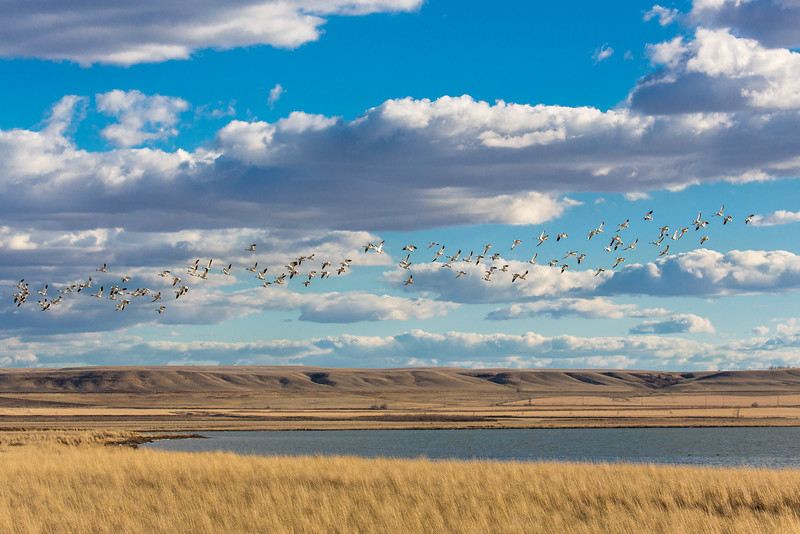Snow Geese into the Big Sky near Freezeout Lake