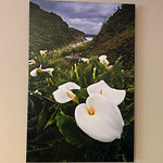 "SOLD!  24"" x 36"" Gallery-wrapped ""Garrapata State Park Calla Lilies.""  Condition 8/10 Normally $550. SALE $199"