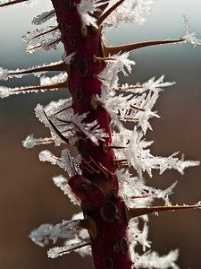 Frosty rose thorns