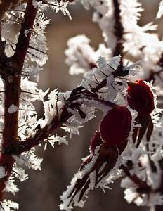 Frosty rose hips