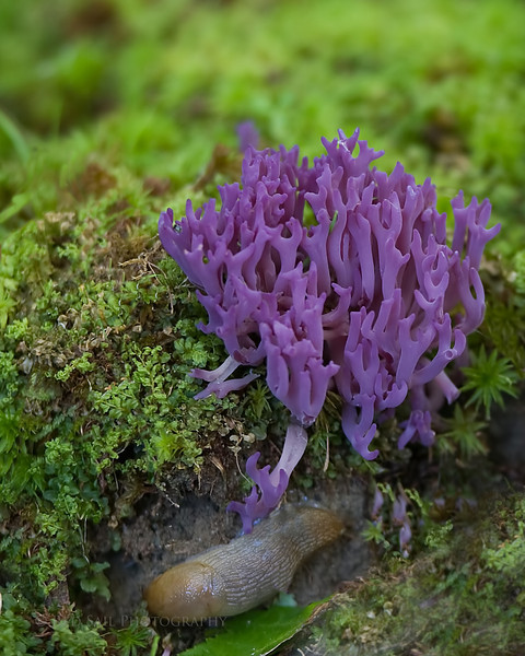 Violet Branched Coral (Clavaria zollingeri) This beautiful growth was found in the forest near at Fields Pond Audubon Center in Holden, Maine. I didn't notice the slug until I uploaded to my computer.