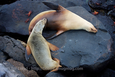 Baby sea lion nursing on San Cristobal island