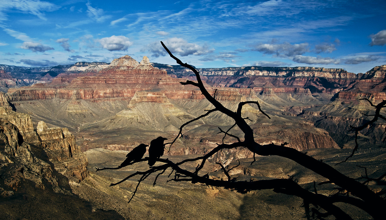 Ravens at the Canyon