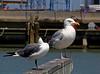 Gulls, Galveston Harbor (Laughing and Herring)