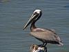 Brown Pelican, Galveston Harbor