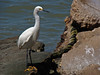 Snowy Egret, Galveston Harbor