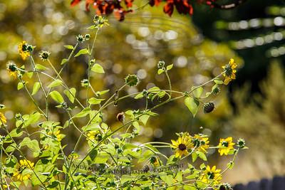 hummer in sun flowers..