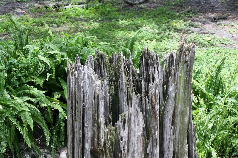 Cypress Stump in Ferns_SS73637
