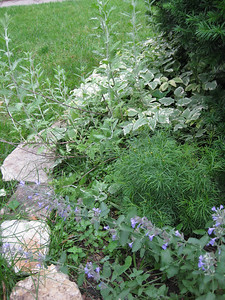 Russian Sage, Coleus, and Catmint
