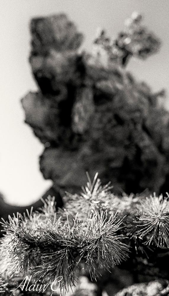 D'un bonsaï à un autre ( N&B )