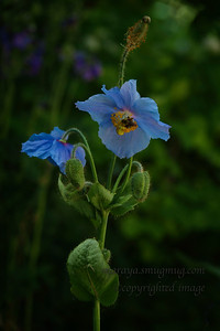 Meconopsis grandis (Himalayan Blue Poppy)
