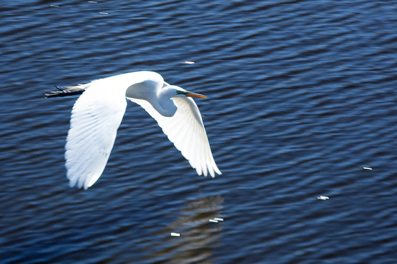 Snowy White Egret in flight 4