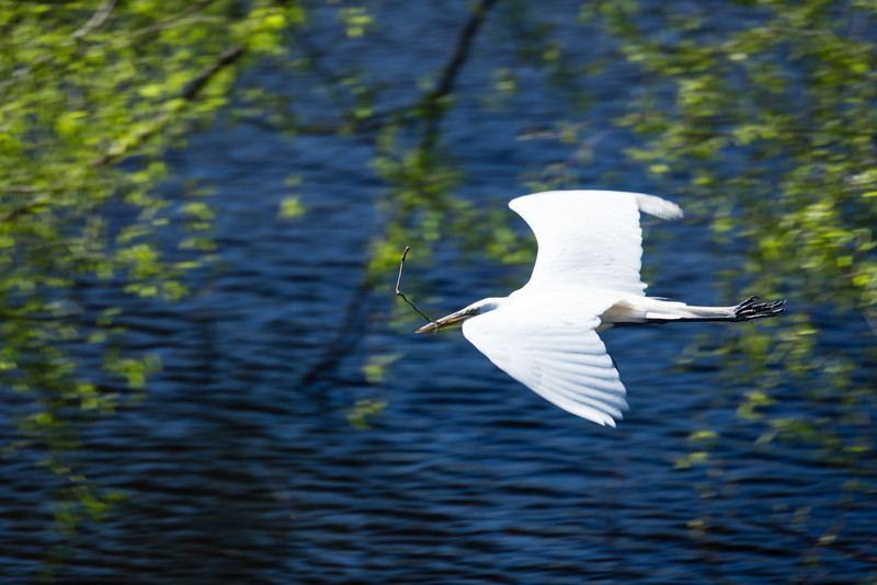 Snowy White Egret in flight 1