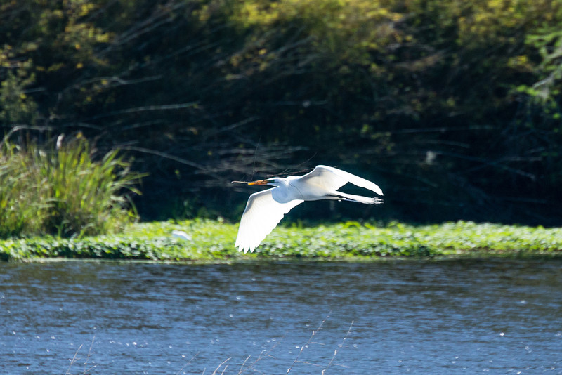 Snowy White Egret in flight 2