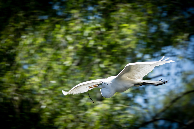 Snowy White Egret in flight 3