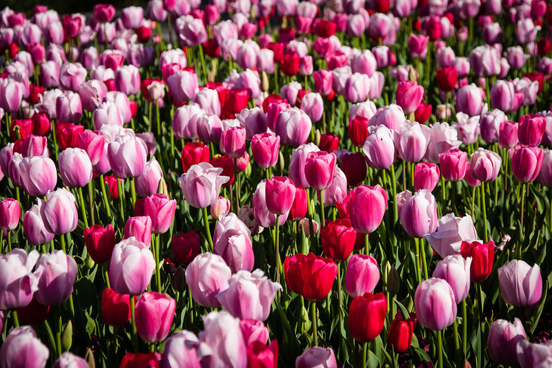 Red and Pink Tulips