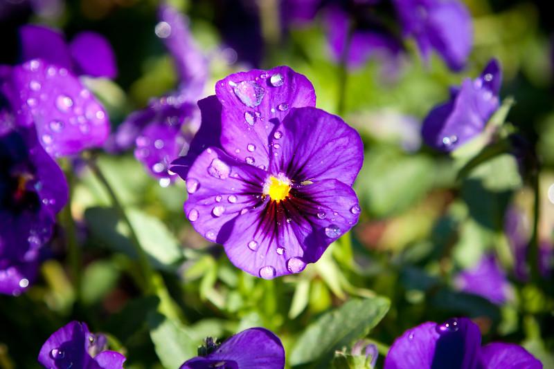 Purple, Pansy, Dallas Arboretum