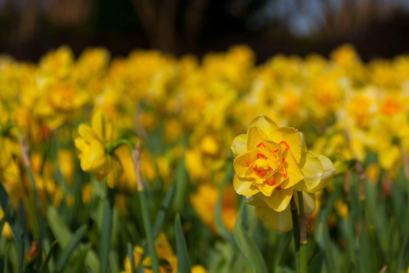 Main daffodil