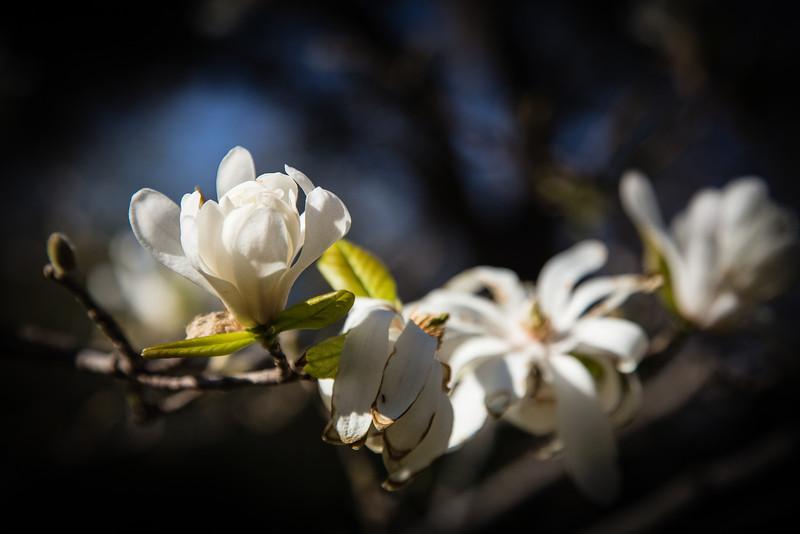FW Magnolia Tree