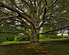"50 year old Beech tree at White flower farm in Morris ct. <a href=""http://images.whiteflowerfarm.com/WhiteFlowerFarmStore.pdf"">http://images.whiteflowerfarm.com/WhiteFlowerFarmStore.pdf</a>"