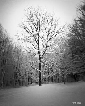 My Walnut Tree...